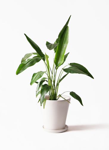 観葉植物 旅人の木 8号 サブリナ 白 付き