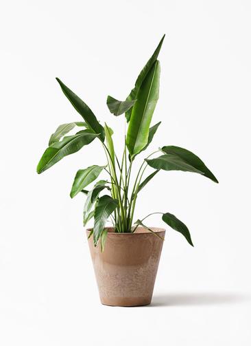 観葉植物 旅人の木 8号 アートストーン ラウンド ベージュ 付き