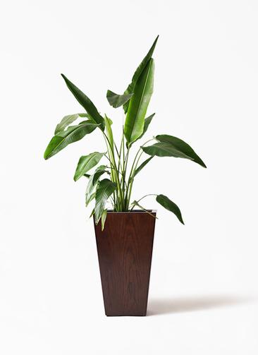 観葉植物 旅人の木 8号 MOKU スクエア 付き
