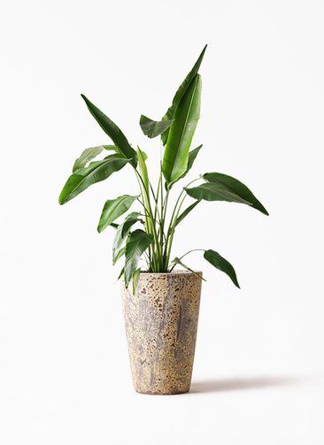 観葉植物 旅人の木 8号 アトランティス クルーシブル 付き