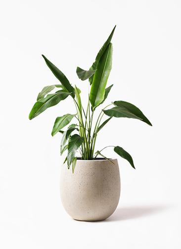 観葉植物 旅人の木 8号 テラニアス バルーン アンティークホワイト 付き