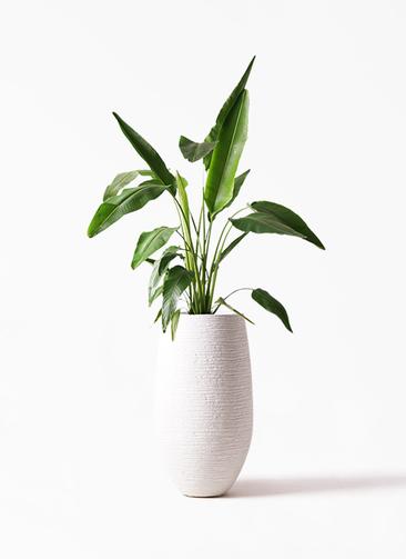 観葉植物 旅人の木 8号 フォンティーヌトール 白 付き