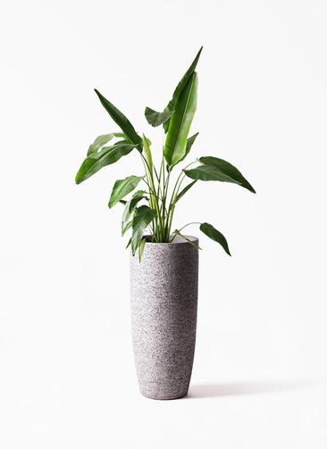 観葉植物 旅人の木 8号 エコストーントールタイプ Gray 付き