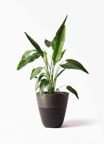 観葉植物 旅人の木 8号 ジュピター 黒 付き