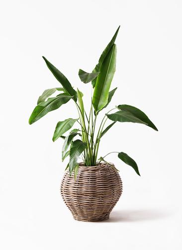 観葉植物 旅人の木 8号 グレイラタン 付き