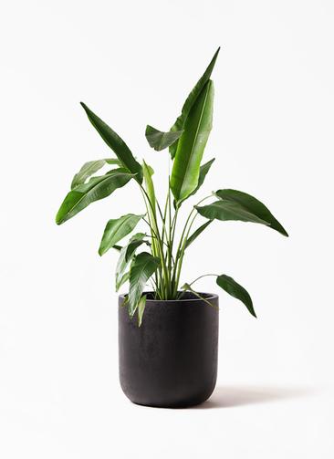 観葉植物 旅人の木 8号 エルバ 黒 付き