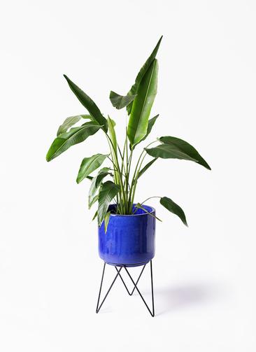 観葉植物 旅人の木 8号 ビトロ エンデカ 鉢カバースタンド付 ブルー 付き