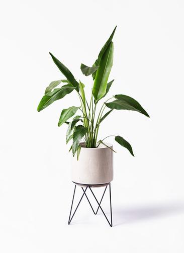 観葉植物 旅人の木 8号 ビトロ エンデカ 鉢カバースタンド付 クリーム 付き