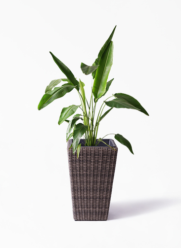 観葉植物 旅人の木 8号 ウィッカーポット スクエアロング OT 茶 付き