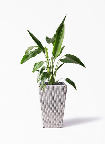 観葉植物 旅人の木 8号 ウィッカーポット スクエアロング OT 白 付き