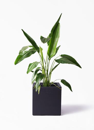観葉植物 旅人の木 8号 ベータ キューブプランター 黒 付き