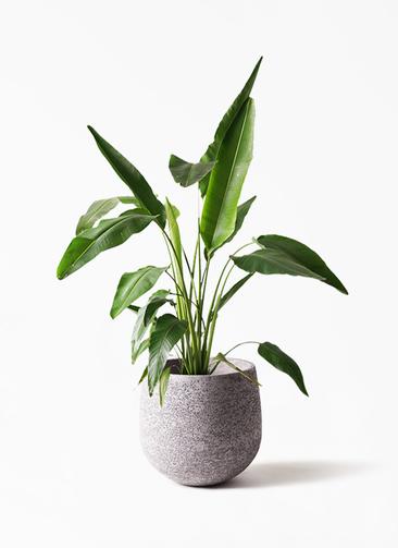 観葉植物 旅人の木 8号 エコストーンGray 付き