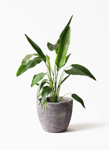 観葉植物 旅人の木 8号 アビスソニアミドル 灰 付き