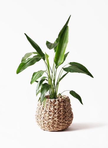 観葉植物 旅人の木 8号 ラッシュバスケット Natural 付き