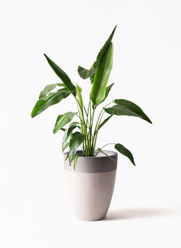 観葉植物 旅人の木 8号 ファイバーストーンカプリ サンディホワイト 付き