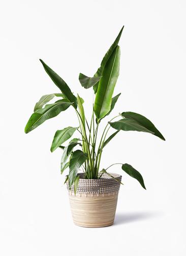 観葉植物 旅人の木 8号 アルマ コニック 白 付き