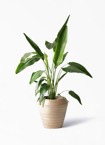 観葉植物 旅人の木 8号 アルマ ミドル 付き