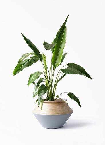 観葉植物 旅人の木 8号 アルマジャー グレー 付き