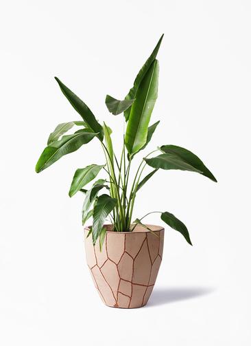 観葉植物 旅人の木 8号 ウィスク 付き