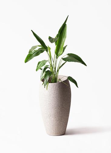 観葉植物 旅人の木 8号 エコストーントールタイプ Light Gray 付き