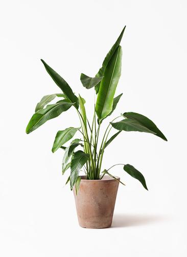 観葉植物 旅人の木 8号 ルーガ アンティコ ソリッド 付き