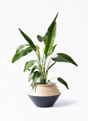 観葉植物 旅人の木 8号 アルマジャー 黒 付き