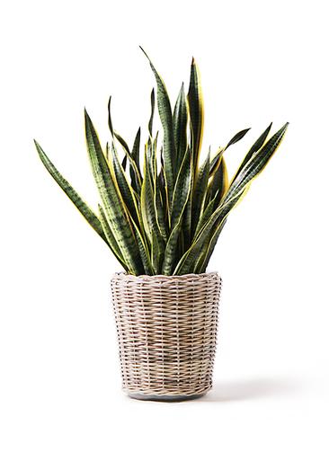 観葉植物 サンスベリア 10号 トラノオ モンデリック ラタン 付き