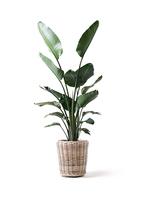 観葉植物 オーガスタ 10号 モンデリック ラタン