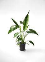 観葉植物 旅人の木 8号 プラスチック鉢