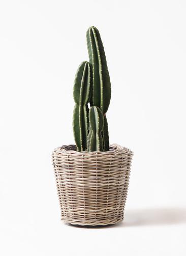 観葉植物 柱サボテン 8号 モンデリック ラタン 付き