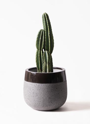 観葉植物 柱サボテン 8号 ファイバーストーンタウルス 黒 付き