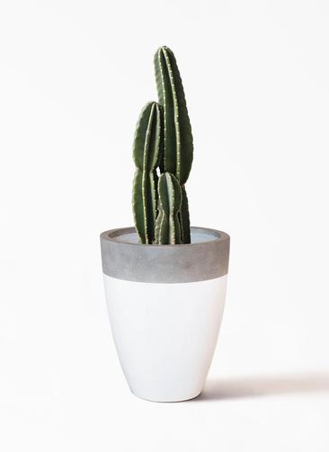 観葉植物 柱サボテン 8号 ファイバーストーンカプリ 白 付き