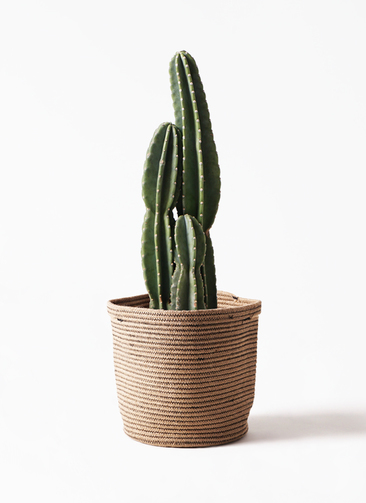 観葉植物 柱サボテン 8号 リブバスケットNatural 付き