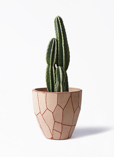 観葉植物 柱サボテン 8号 ウィスク 付き