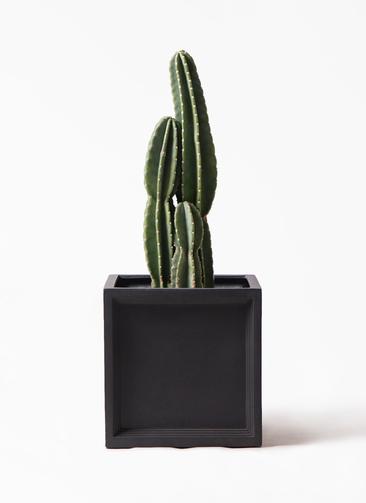 観葉植物 柱サボテン 8号 ブリティッシュキューブ 付き
