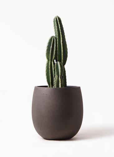観葉植物 柱サボテン 8号 テラニアス バルーン アンティークブラウン 付き