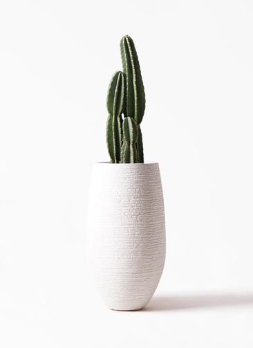 観葉植物 柱サボテン 8号 フォンティーヌトール 白 付き