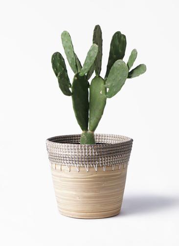 観葉植物 ウチワサボテン 8号 アルマ コニック 白 付き