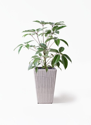 観葉植物 ツピダンサス 8号 ボサ造り ウィッカーポット スクエアロング OT 白 付き