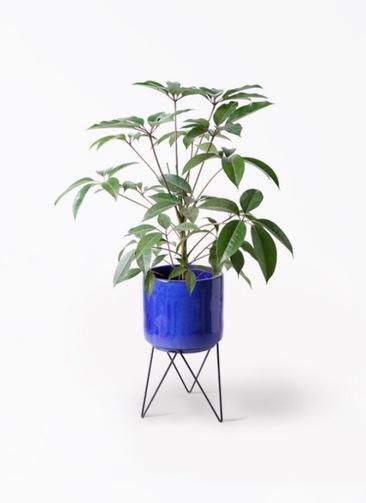 観葉植物 ツピダンサス 8号 ボサ造り ビトロ エンデカ 鉢カバースタンド付 ブルー 付き