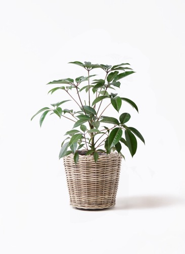 観葉植物 ツピダンサス 8号 ボサ造り モンデリック ラタン 付き