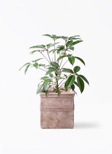 観葉植物 ツピダンサス 8号 ボサ造り テラアストラ カペラキュビ 赤茶色 付き
