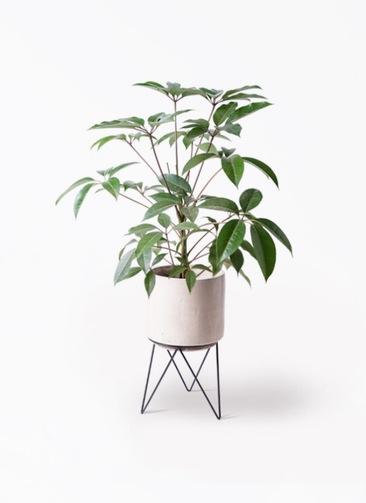 観葉植物 ツピダンサス 8号 ボサ造り ビトロ エンデカ 鉢カバースタンド付 クリーム 付き