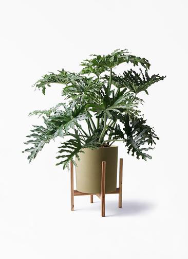 観葉植物 セローム ヒトデカズラ 8号 ボサ造り ホルスト シリンダー オリーブ ウッドポットスタンド付き