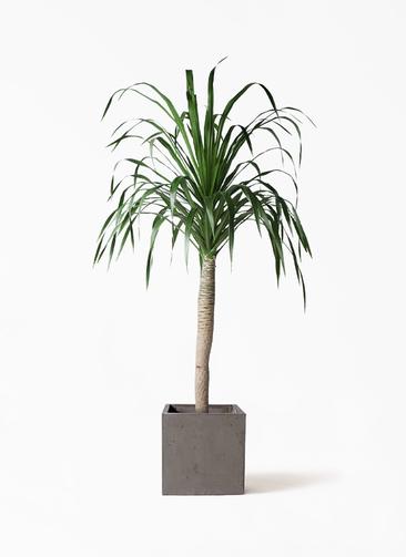 観葉植物 ドラセナ ドラコ 8号 コンカー キューブ  灰 付き
