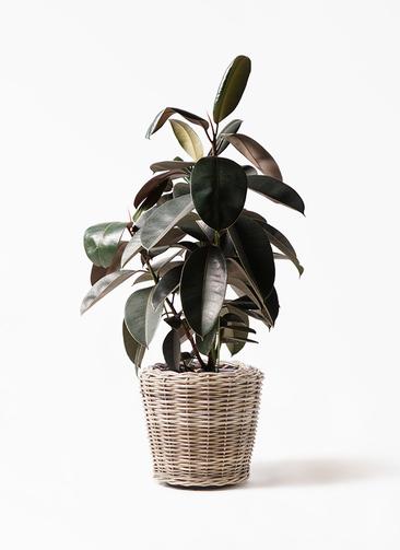 観葉植物 フィカス バーガンディ 8号 ノーマル モンデリック ラタン 付き