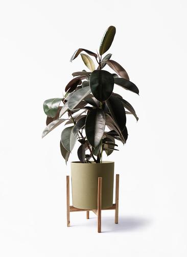 観葉植物 フィカス バーガンディ 8号 ノーマル ホルスト シリンダー オリーブ ウッドポットスタンド付き