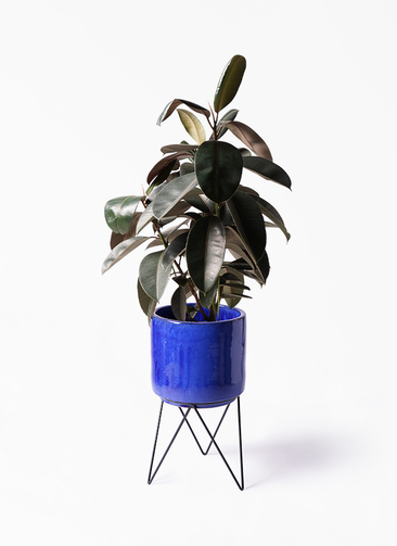 観葉植物 フィカス バーガンディ 8号 ノーマル ビトロ エンデカ 鉢カバースタンド付 ブルー 付き