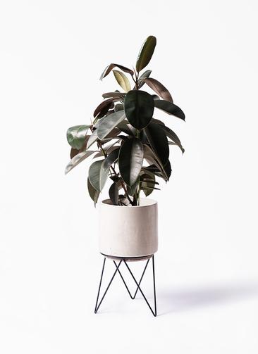 観葉植物 フィカス バーガンディ 8号 ノーマル ビトロ エンデカ 鉢カバースタンド付 クリーム 付き