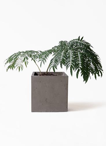 観葉植物 リュウビンタイ 8号 コンカー キューブ 灰 付き